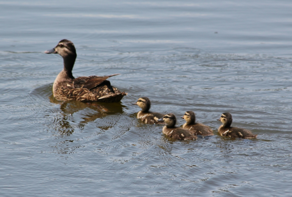 While we're looking at ducks...