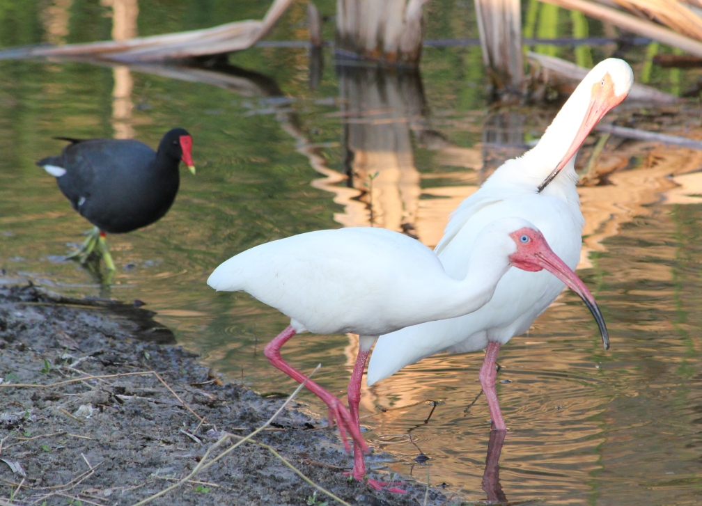 Ibises and moorhen