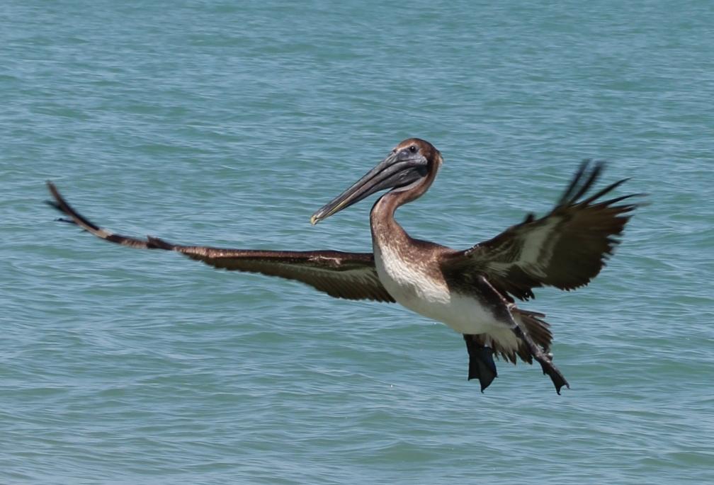 Pelican St. Petersburg, Fl.